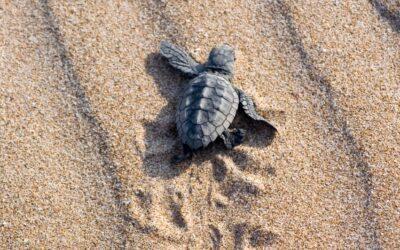 El Ayuntamiento se une a la campaña de protección de las tortugas marinas